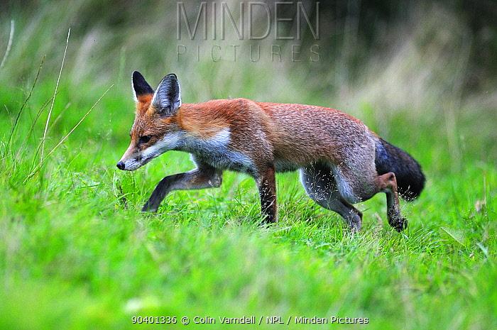 Young fox (Vulpes vulpes) hunting, Dorset, UK, August  -  Colin Varndell/ npl
