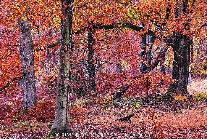 Autumnal Beech (Fagus) trees, Savernake Forest, Wiltshire, UK, November 2012  -  Colin Varndell/ npl