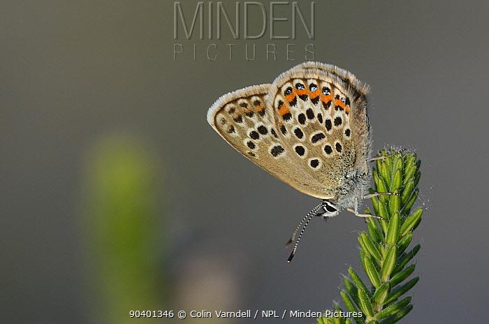 Male Silver studded blue butterfly (Plebejus argus) at rest, Winfrith Heath, Dorset, UK, July  -  Colin Varndell/ npl