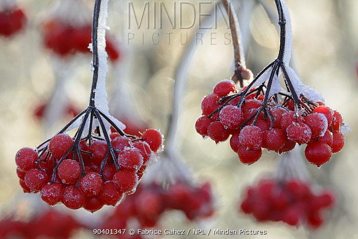 Frost on Viburnum berries in winter, Vosges, France  -  Fabrice Cahez/ npl