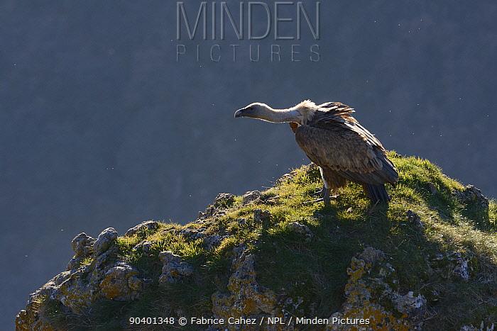 Eurasian griffon vulture (Gyps fulvus) rocks, Gorges de la Jonte, France, December  -  Fabrice Cahez/ npl