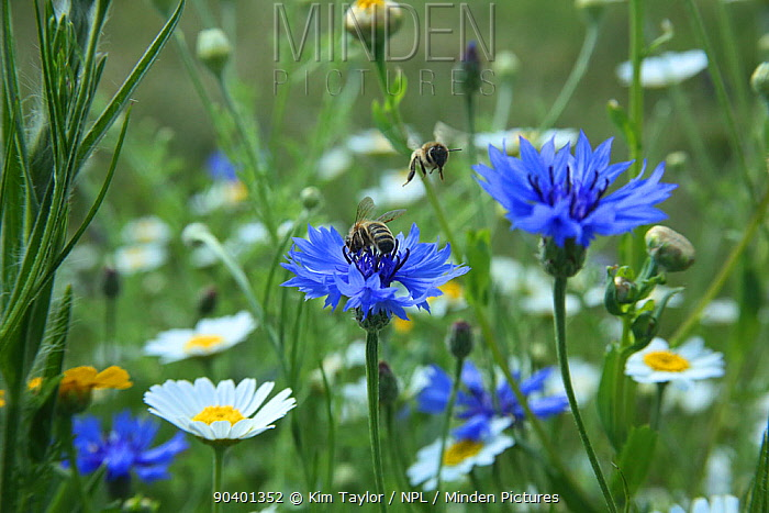 Honeybees (Apis mellifera) pollinating Cornflowers (Centaurea cyanus) in Bee World Surrey, England, UK, July 2014 Bee Worlds is an initiative of Friends of the Earth  -  Kim Taylor/ npl