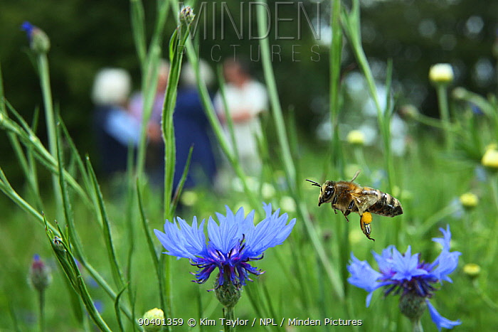 Honeybee (Apis melifera) taking off after pollinating Cornflowers (Centaurea cyanea) in Bee World, with people in the background, Surrey, England, UK, July 2014 Bee Worlds is an initiative of Friends of the Earth  -  Kim Taylor/ npl