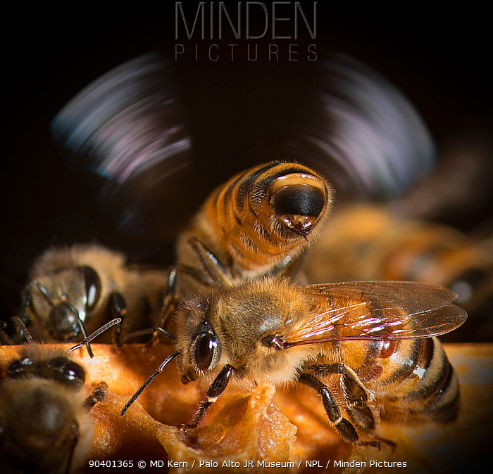 European honey bee (Apis mellifera) flapping wings to control hive temperature, captive  -  MD Kern/ PAJM/ npl
