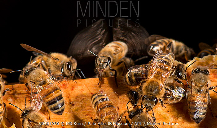 European honey bee (Apis mellifera) flapping wings to control hive temperature, captive  -  MD Kern/ PAJM/ npl