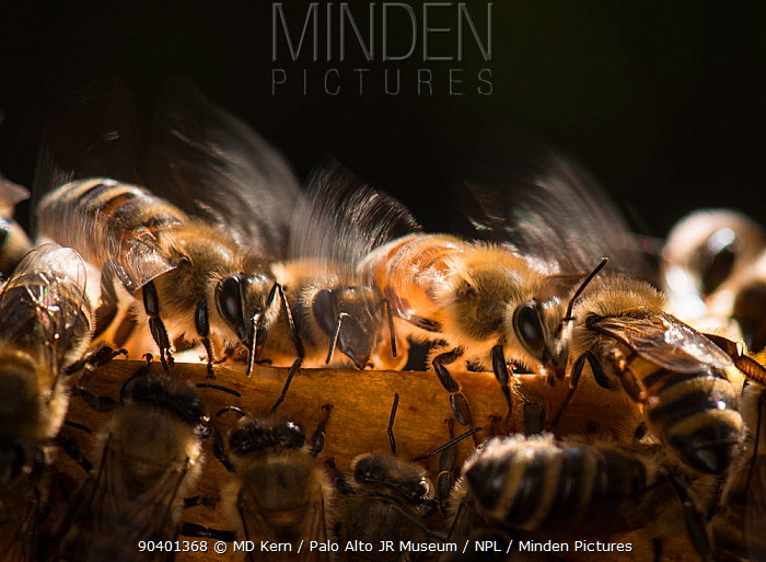 European honey bees (Apis mellifera) flapping wings to control hive temperture, captive  -  MD Kern/ PAJM/ npl