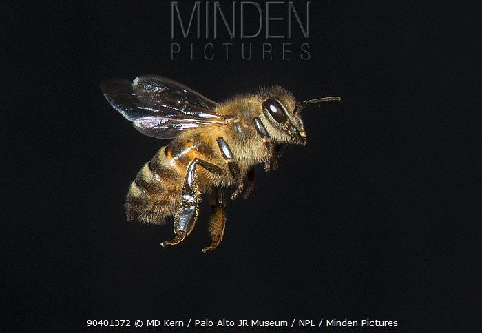 European honey bee (Apis mellifera) in flight, controlled conditions  -  MD Kern/ PAJM/ npl