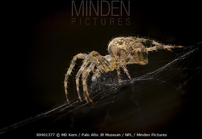 European Garden Spider (Araneus diadematus), eating fly, captive  -  MD Kern/ PAJM/ npl