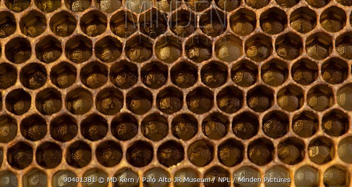 European honey bee (Apis mellifera) eggs in brood comb cells, captive  -  MD Kern/ PAJM/ npl