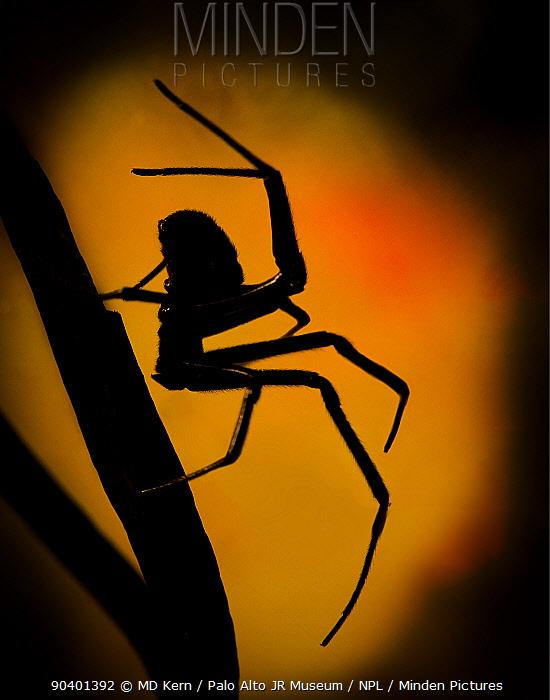 Black Widow (Latrodectus hesperus) spider walking silhouetted against light, captive  -  MD Kern/ PAJM/ npl
