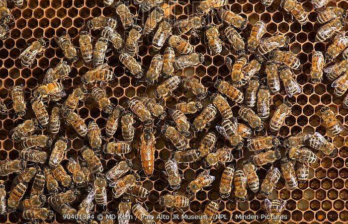 European honey bees (Apis mellifera) tending the queen, with one feeding her  -  MD Kern/ PAJM/ npl