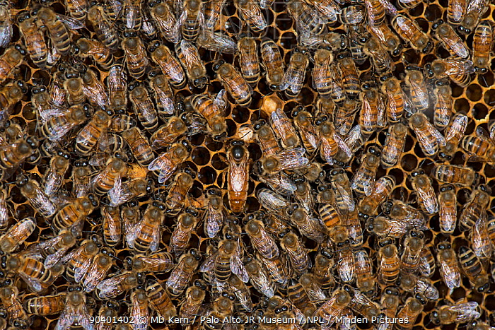 European honey bees (Apis mellifera) tending the queen, one licking her to take up her odour, which will spread through the colony via food exchange, such as in the bottom right corner of the image Another bee in this image has a Varroa mite, captive  -  MD Kern/ PAJM/ npl