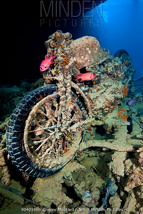 A British World War II BSA M20 motorbike inside Hold 2 of the wreck of HMS Thistlegorm, home tp a pair of Red Sea soldierfish (Myripristis murdjan) and a nudibranch (Nembrotha megalocera) in the centre of the front wheel Shaab Ali, Red Sea Sinai, Egypt  -  Alex Mustard/ npl