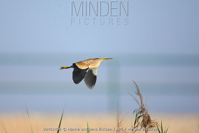 Yellow bittern (Ixobrychus sinensis) in flight, Oman, May  -  Hanne & Jens Eriksen/ npl