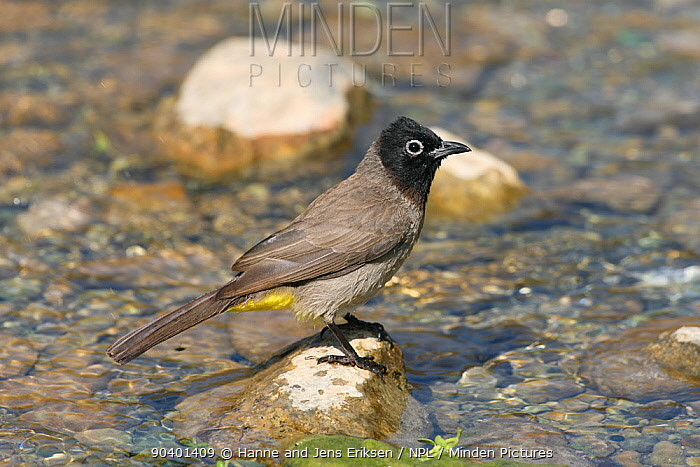 White spectacled bulbul (Pycnonotus xanthopygos) perched on rock in stream, Oman, May  -  Hanne & Jens Eriksen/ npl
