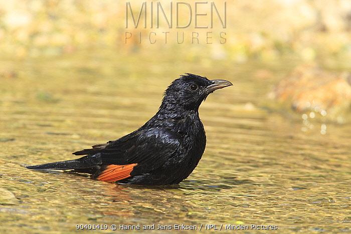 Tristrams starling (Onychognathus tristramii) male bathing, Oman, September  -  Hanne & Jens Eriksen/ npl
