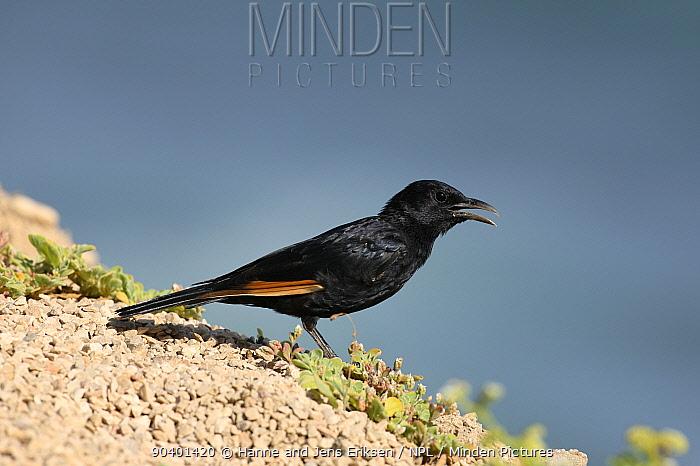 Tristrams starling (Onychognathus tristramii) male, Oman, September  -  Hanne & Jens Eriksen/ npl
