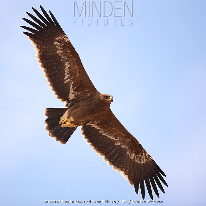 Steppe eagle (Aquila nipalensis) in flight, Oman, November  -  Hanne & Jens Eriksen/ npl