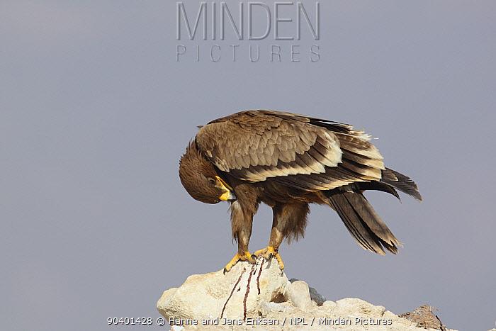 Steppe eagle (Aquila nipalensis) on rock, preening, Oman, November  -  Hanne & Jens Eriksen/ npl