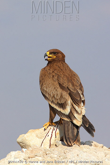 Steppe eagle (Aquila nipalensis) on rock, Oman, November  -  Hanne & Jens Eriksen/ npl