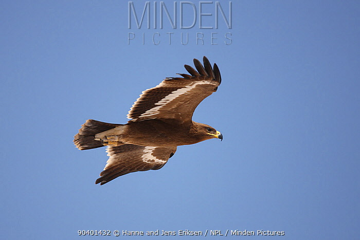 Steppe eagle (Aquila nipalensis) in flight, Oman, November  -  Hanne & Jens Eriksen/ npl
