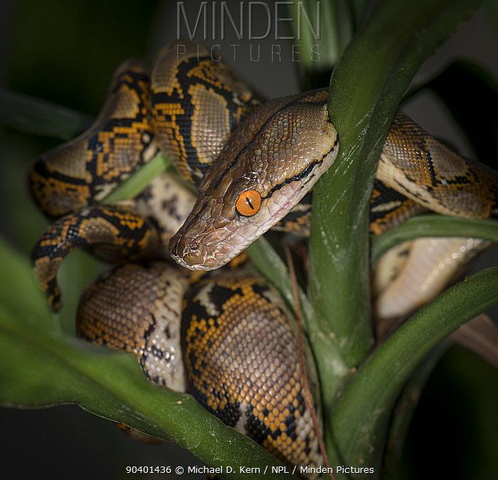 Reticulated Python (Malayopython reticulatus) captive, native to South East Asia  -  Michael D. Kern/ npl