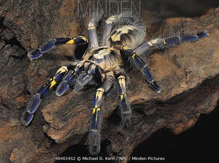 Gooty sapphire ornamenta tarantula (Poecilotheria metallica) captive, native to India Critically endangered species  -  Michael D. Kern/ npl