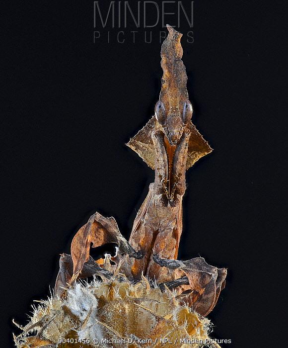 Ghost Mantis (Phyllocrania paradoxa) looking at camera, captive, native to Africa  -  Michael D. Kern/ npl