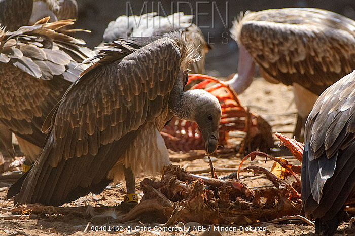 Long-billed vultures (Gyps indicus) feeding on clean goat meat, captive, Vulture Conservation Breeding Centre near Pinjore in Haryana, India March 2005  -  Chris Gomersall/ npl