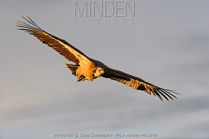 Eurasian griffon vulture (Gyps fulvus) adult in flight in the Catalonian Pyrenees, Spain, November  -  Chris Gomersall/ npl