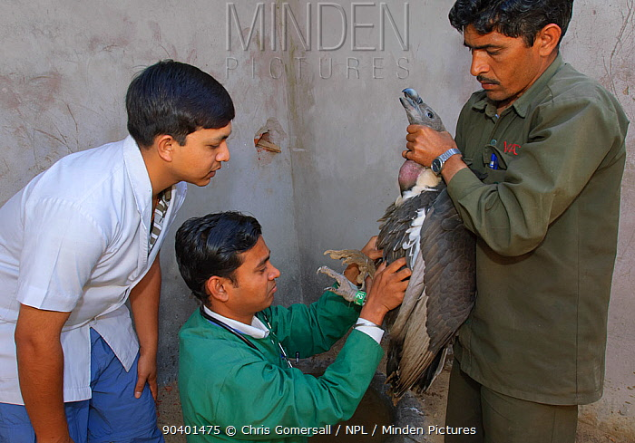 Project veterinarian for the Bombay Natural History Society, Dr Devojit Das (centre), examining an oriental white-backed vulture (Gyps bengalensis) at the Vulture Conservation Breeding Centre near Pinjore in Haryana, India March 2005  -  Chris Gomersall/ npl