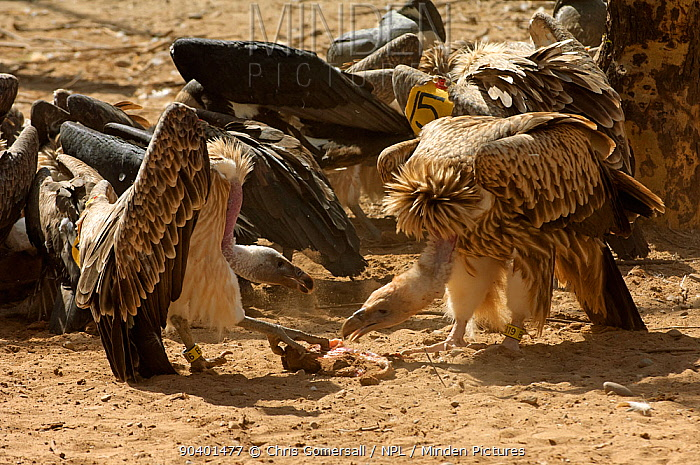 Long-billed vultures (Gyps indicus) and oriental white-backed vultures (Gyps bengalensis) feeding on clean goat meat, captive, Vulture Conservation Breeding Centre near Pinjore in Haryana, India March 2005  -  Chris Gomersall/ npl