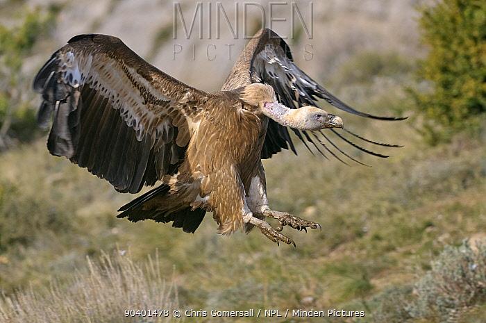 Eurasian griffon vulture (Gyps fulvus) adult landing at feeding station in the Catalonian Pyrenees, Spain, November  -  Chris Gomersall/ npl