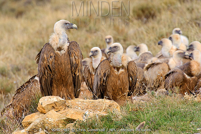 Flock of Eurasian griffon vultures (Gyps fulvus) on the ground near feeding station in the Catalonian Pyrenees, Spain, November  -  Chris Gomersall/ npl