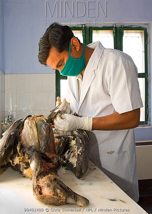 Project veterinarian for the Bombay Natural History Society, Dr Devojit Das, conducting a post-mortem examination on the corpse of an Oriental white-backed vulture (Gyps bengalensis) at the Vulture Conservation Breeding Centre near Pinjore in Haryana, India The vulture was found to have died from visceral gout, the result of diclofenac poisoning after having fed on treated carrion March 2005  -  Chris Gomersall/ npl