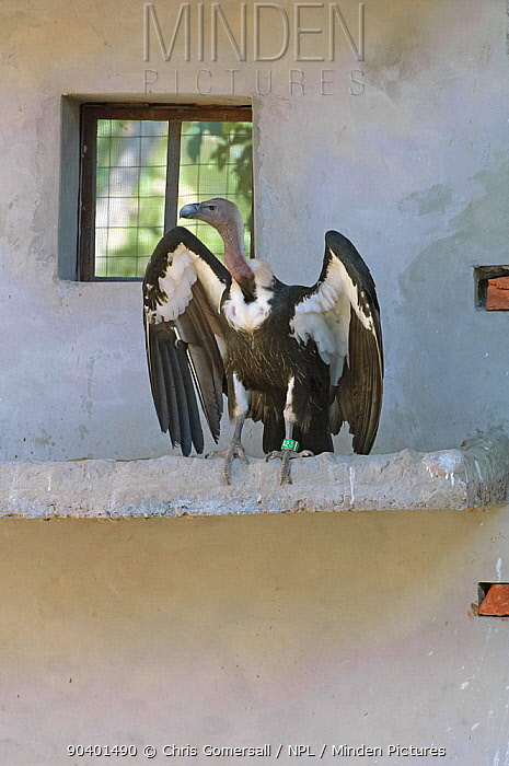 Oriental white-backed vulture (Gyps bengalensis) stretching wings, captive at the Vulture Conservation Breeding Centre near Pinjore in Haryana, India March 2005  -  Chris Gomersall/ npl