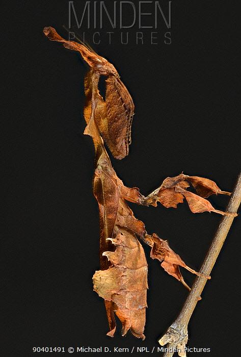 Ghost Mantis (Phyllocrania paradoxa) female, captive, native to Africa  -  Michael D. Kern/ npl