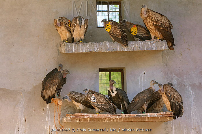 Long-billed vultures (Gyps indicus), Oriental white-backed vultures (Gyps bengalensis) and Himalayan griffon vulture (Gyps himalayensis) in captivity at the Vulture Conservation Breeding Centre near Pinjore in Haryana, India March 2005  -  Chris Gomersall/ npl