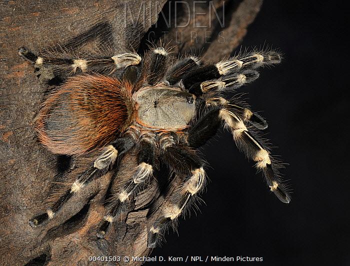 White Striped Birdeater Tarantula (Nhandu chromatus) captive, endemic to Brazil  -  Michael D. Kern/ npl