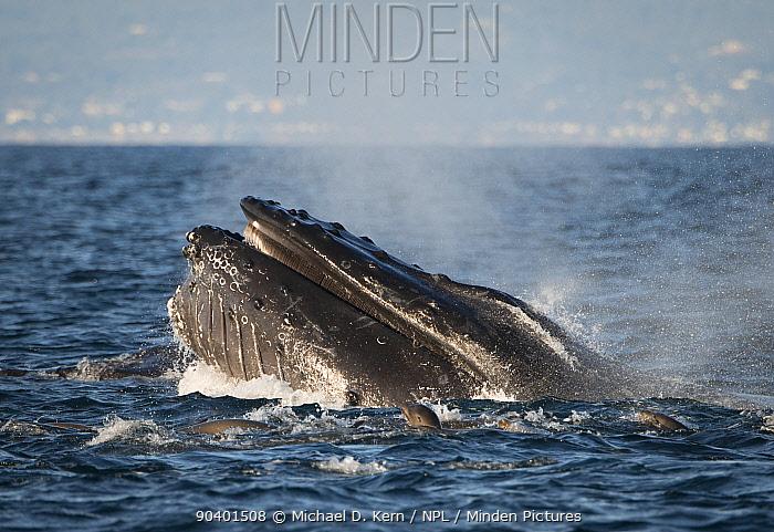 Humpback Whale (Megaptera novaeangliae) and California Sea Lions (Zalophus californianus) feeding in Montery Bay, California, USA, December  -  Michael D. Kern/ npl