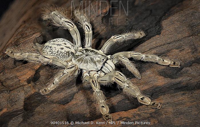 Ornamental Baboon (Heteroscodra maculata) captive, native to West Africa  -  Michael D. Kern/ npl