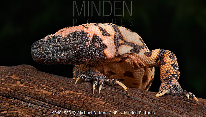 Gila Monster (Heloderma suspectum) captive, native to southwestern USA and Sonora, Mexico  -  Michael D. Kern/ npl