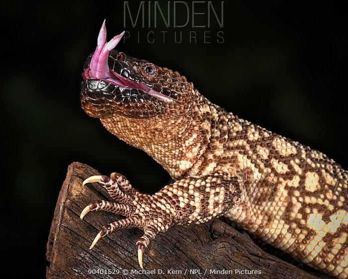 Mexican Beaded Lizard (Heloderma horridum) sensing with tongue, captive, native to Mexico and Guatemala  -  Michael D. Kern/ npl
