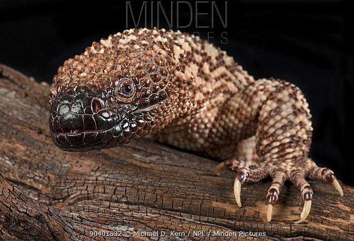 Mexican Beaded Lizard (Heloderma horridum) captive, native to Mexico and Guatemala  -  Michael D. Kern/ npl