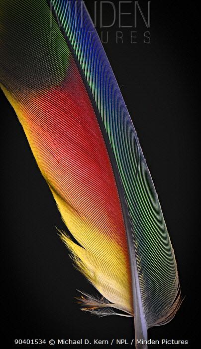 Yellow Naped Amazon Parrot (Amazona auropalliata) wing feather against black background  -  Michael D. Kern/ npl