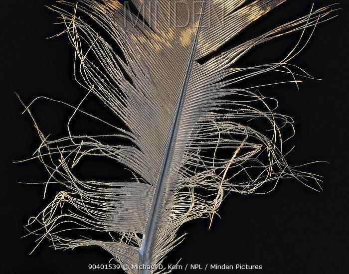 Temmincks tragopan (Tragopan temminckii) pheasant feather against black background  -  Michael D. Kern/ npl