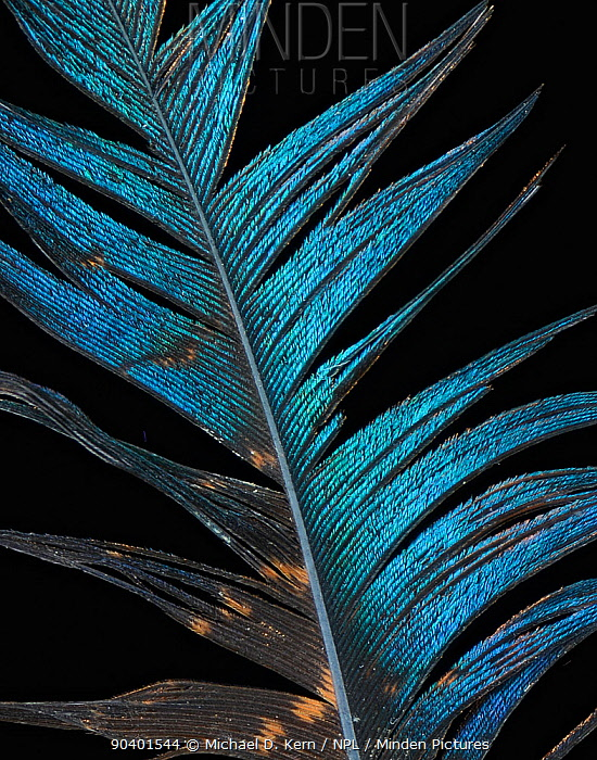 Mountain peacock-pheasant (Polyplectron inopinatum) feather against black background  -  Michael D. Kern/ npl