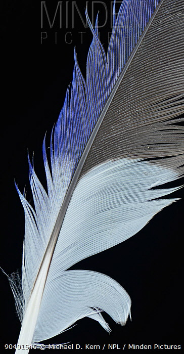 Eastern Rosella (Platycercus eximius) wing feather against black background  -  Michael D. Kern/ npl