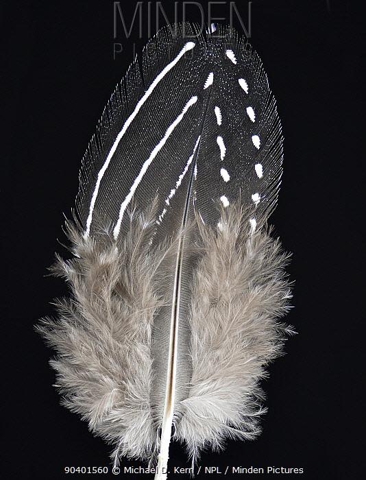 Vulturine Guineafowl (Acryllium vulturinum) feather against black background  -  Michael D. Kern/ npl