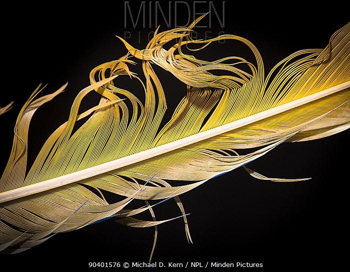 Blue-and-yellow Macaw (Ara ararauna) feather against black background  -  Michael D. Kern/ npl